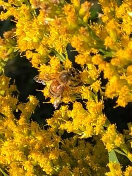 golden rod bee